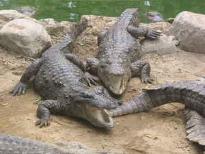 img Da lachen selbst die Krokodile.