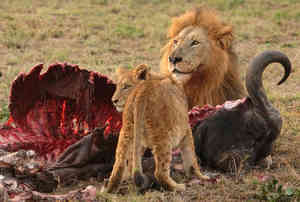img Die großen Tiere werden satt.
