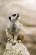 img  Meerkat: long-living - around 13 years